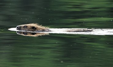 beaver-swimming-in-Loch-C-001