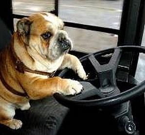dogdrivingbus