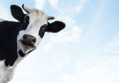smiling-cow